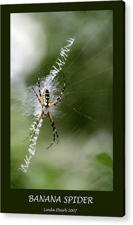 Spiders Acrylic Print featuring the photograph Banana Spider by Linda Ebarb