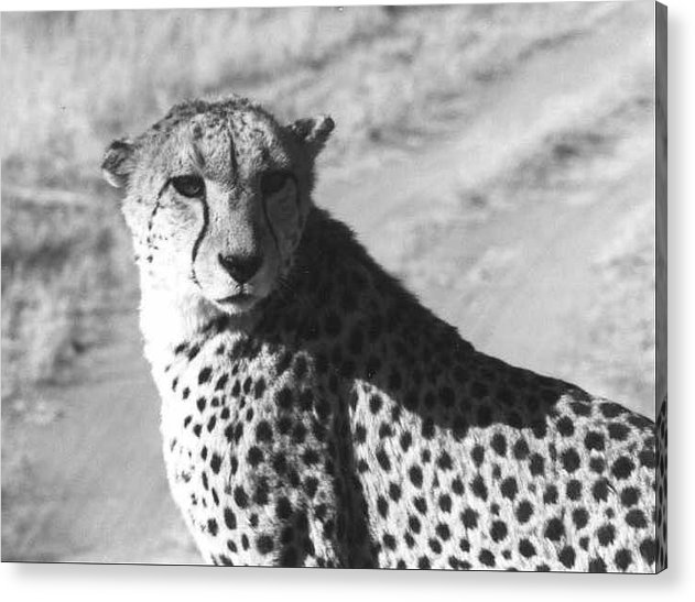 Cheetah Acrylic Print featuring the photograph Cheetah Pose by Susan Chandler