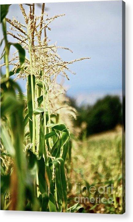Corn Acrylic Print featuring the photograph Corn Rows by Lori Leigh