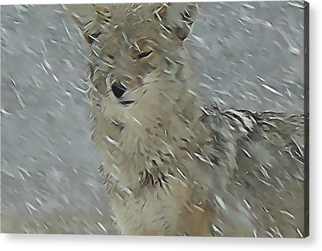Wildlife Acrylic Print featuring the pastel Coyote In Winter by Errol Savage