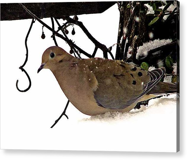 Dove Acrylic Print featuring the photograph Dove by Linda Carroll
