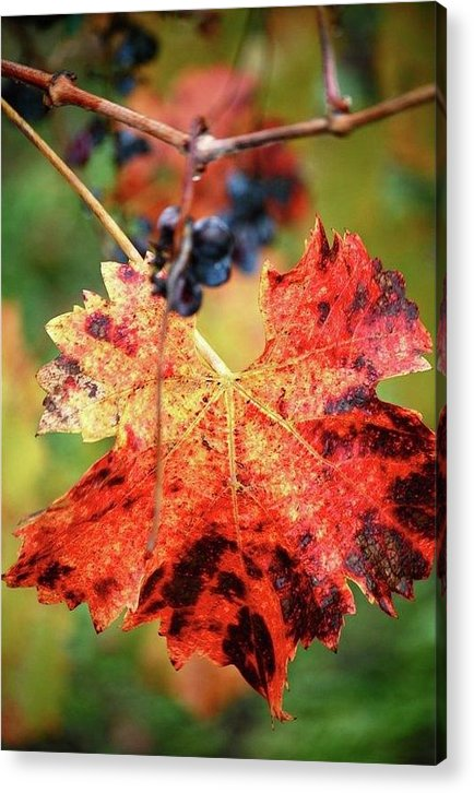 Leaves Acrylic Print featuring the photograph Fall Vine by Lori Leigh