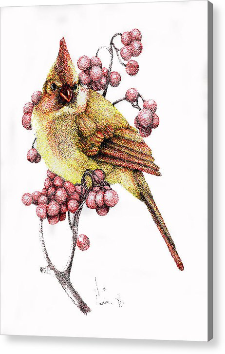 Color Pen And Ink Acrylic Print featuring the drawing Female Cardinal by Preston Shupp