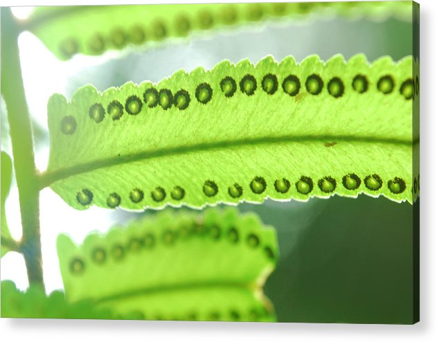Fern Acrylic Print featuring the photograph Fern by Susette Lacsina