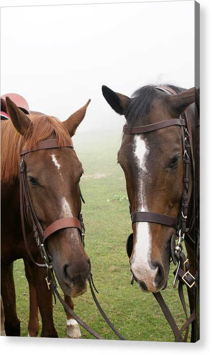 Horses Acrylic Print featuring the photograph Gladiator And Jahanpana by Padamvir Singh
