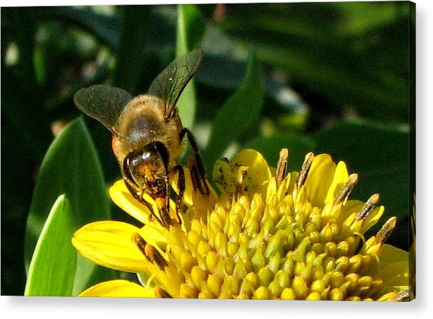 Bee Acrylic Print featuring the photograph Honey Starts Here by T Guy Spencer