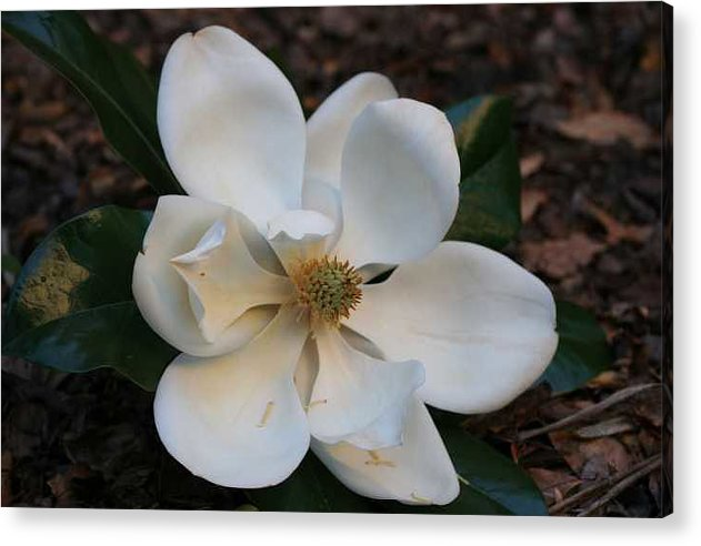 Photography Acrylic Print featuring the photograph Magnolia by Ofelia Arreola
