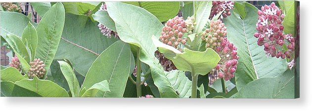Milkweed Acrylic Print featuring the photograph Milkweed Barcode No1 08 8 2008 by Donald Burroughs