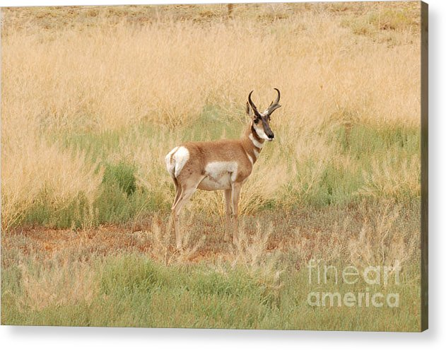 Pronghorn Acrylic Print featuring the photograph Pronghorn Buck by Dennis Hammer