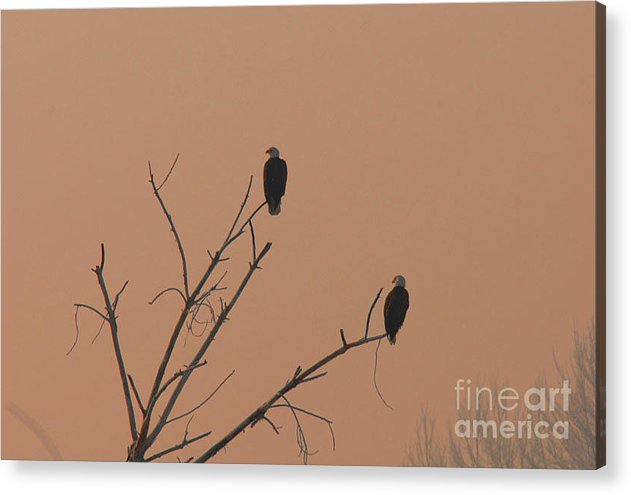 Eagle Acrylic Print featuring the photograph Roosting Bald Eagles by Dennis Hammer