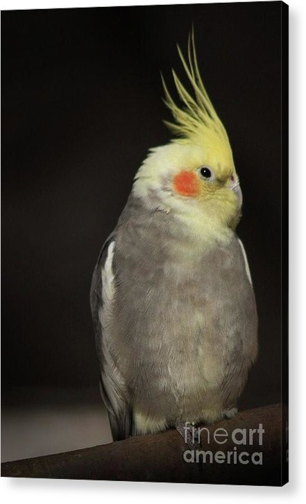 Bird Photographs Acrylic Print featuring the photograph Sassy by Kim Henderson