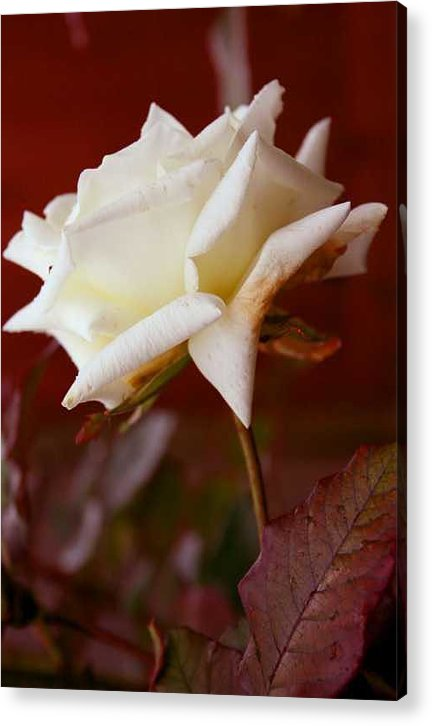 Photography Acrylic Print featuring the photograph White by Ofelia Arreola