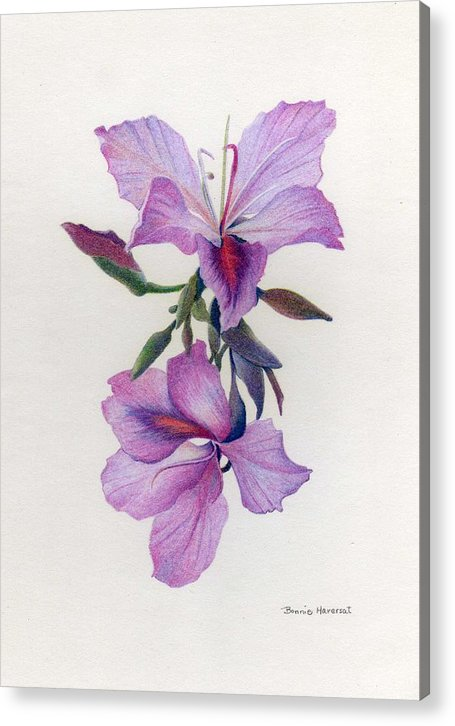 Colored Pencil Acrylic Print featuring the drawing Wild Orchids by Bonnie Haversat