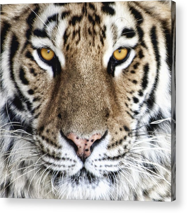 Tiger Acrylic Print featuring the photograph Bengal Tiger Eyes by Tom Mc Nemar
