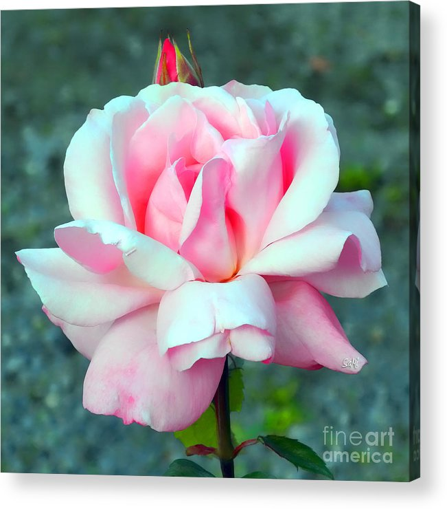 Square Acrylic Print featuring the photograph Cheri's Rose by Sami Martin