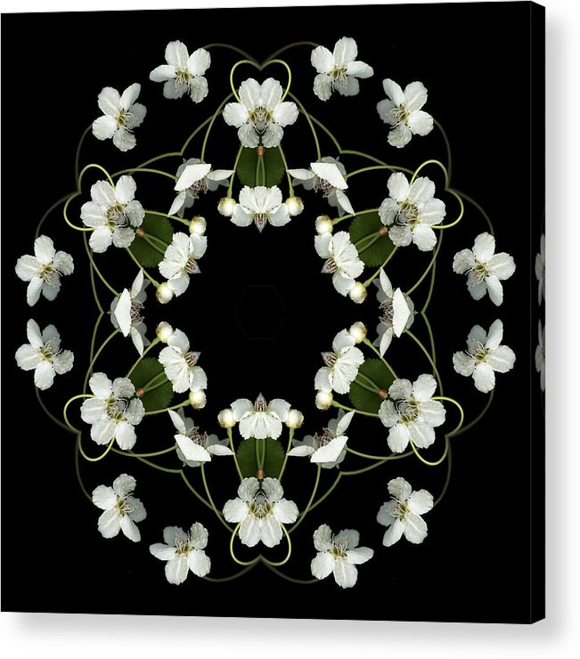 Mandala; Floral; Botanical; Scanner Photography; Scanography; Pear Blossoms; White; Leaves; Acrylic Print featuring the photograph Orbits by Marsha Tudor