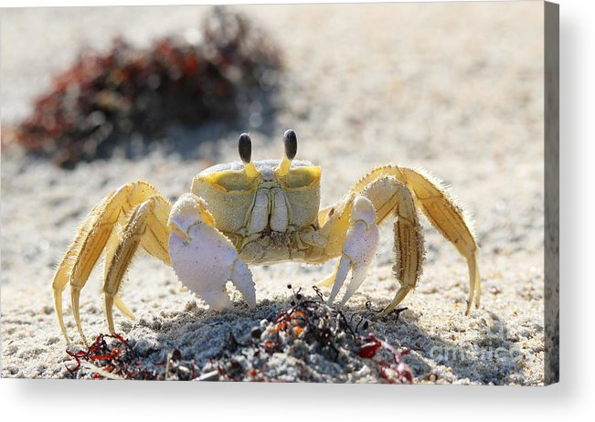 Atlantic Ghost Crab Acrylic Print featuring the photograph Atlantic Ghost Crab 2760 by Jack Schultz