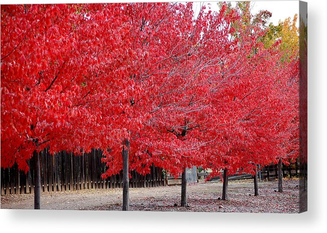 Red Leaves Leaf Tree Fall Colors Row Line Chico Ca Acrylic Print featuring the photograph Red Tree Line by Holly Blunkall
