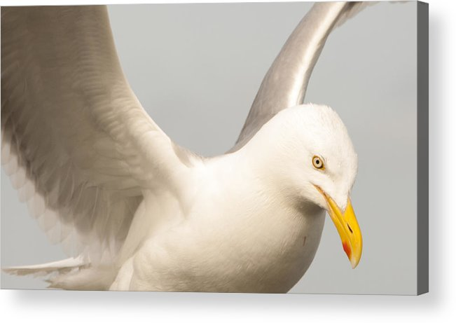 Seagull Acrylic Print featuring the photograph Seagull Landing by Steven Natanson