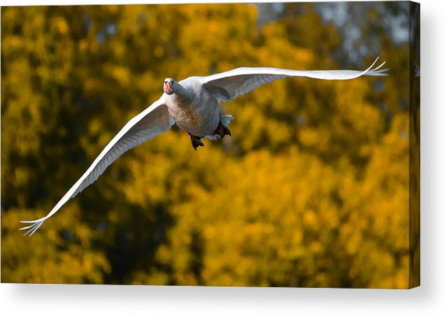Acrylic Print featuring the photograph Swan Stare by Brian Stevens