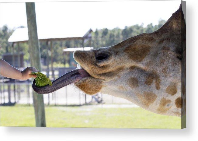 Giraffe Acrylic Print featuring the photograph Feeding Time by Rebecca Cozart