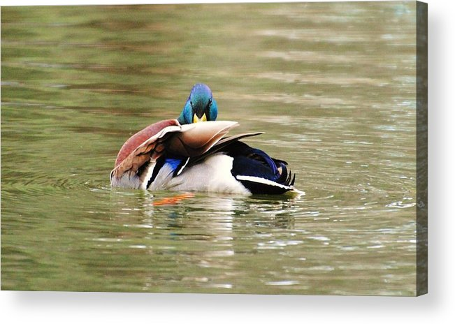 Wildlife Acrylic Print featuring the photograph I See U by John Blanchard