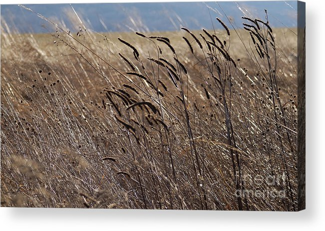 Weeds Grass Wild Growth Natural Ornaments Light Brush Glow Evening Creation Acrylic Print featuring the photograph Simply Beautiful by Vilas Malankar