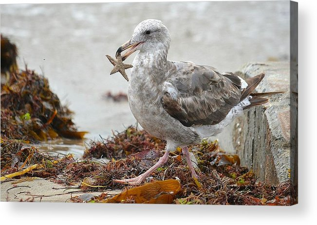 Seagull With Starfish Acrylic Print featuring the photograph Unwilling Star by Fraida Gutovich