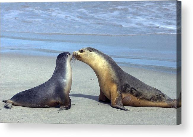 Sea Lion Acrylic Print featuring the photograph A Mothers Love by Mike Dawson