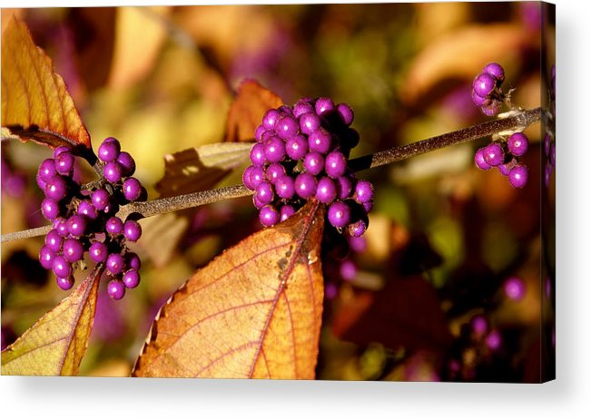 Botany Acrylic Print featuring the photograph Berry Bush by Sonja Anderson
