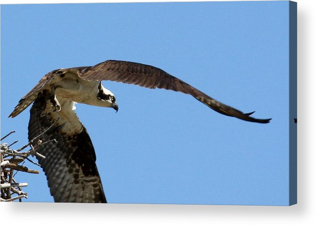 Osprey Acrylic Print featuring the photograph Leaving The Nest by Annie Babineau