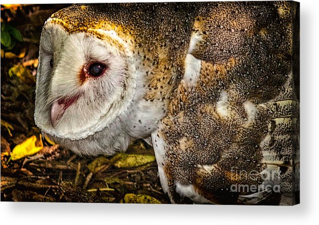 The Owl Acrylic Print featuring the photograph The Owl by Dieter Lesche