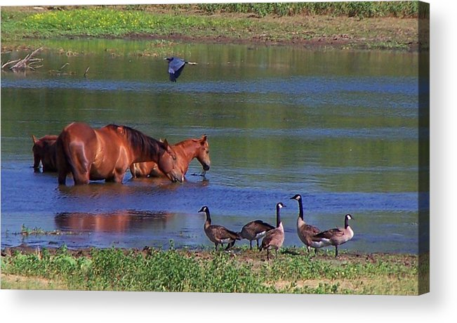 Horses Acrylic Print featuring the photograph We Are All Friends Here. by Lilly King