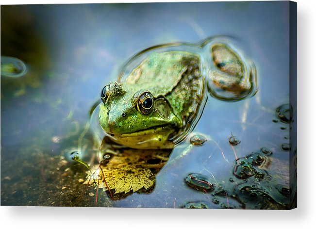Optical Playground By Mp Ray Acrylic Print featuring the photograph American Bull Frog by Optical Playground By MP Ray