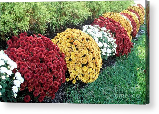 Flower Acrylic Print featuring the photograph Color Puffs by Tahlula Arts