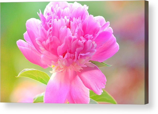 Art Acrylic Print featuring the photograph Peony by Joan Han