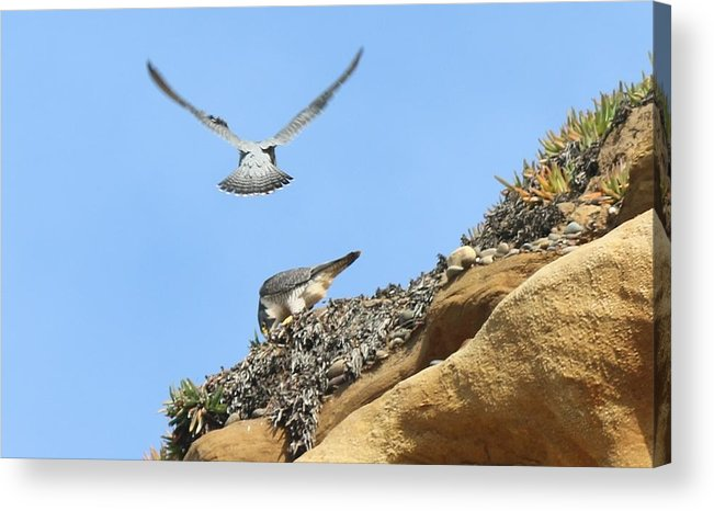 Peregrine Acrylic Print featuring the photograph Peregrine Falcons - 2 by Christy Pooschke