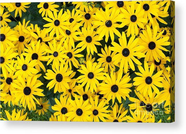 Rudbeckia Fulgida Acrylic Print featuring the photograph Rudbeckia Fulgida 'pot Of Gold' by Tim Gainey