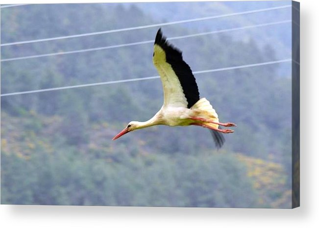 White Stork Acrylic Print featuring the photograph Stork In Flight by Taiche Acrylic Art