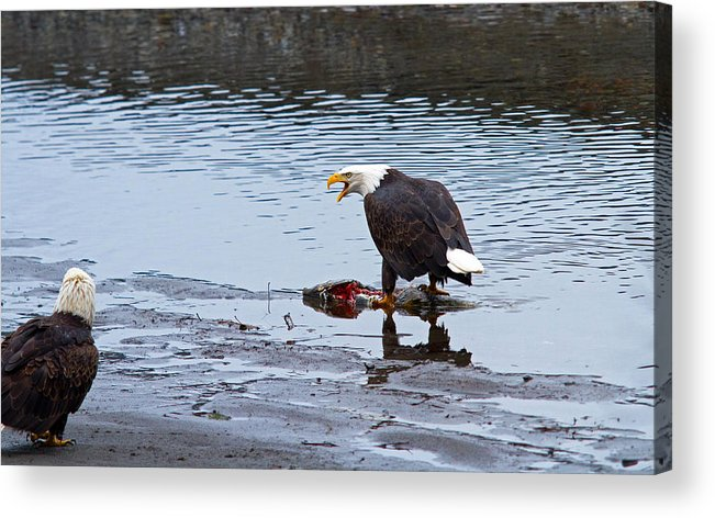 Bald Eagle Acrylic Print featuring the photograph This Is Mine by Shari Sommerfeld