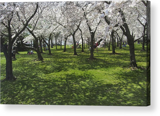 Cherry Blossoms Acrylic Print featuring the photograph Under The Cherry Blossoms - Washington Dc. by Mike McGlothlen