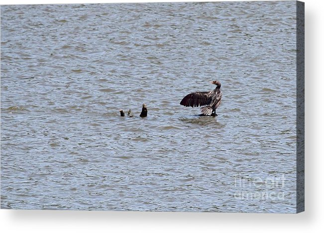 Nature Acrylic Print featuring the photograph Double-crested Cormorant by Jack R Brock