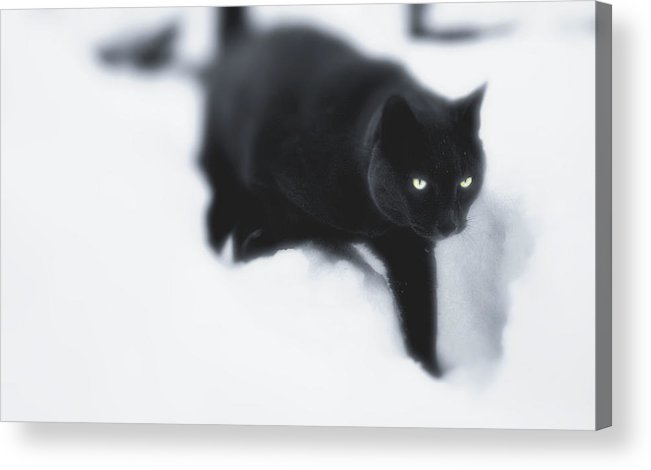 Cat Acrylic Print featuring the photograph Catz Eyes by Kevin Moore