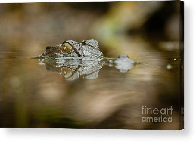 Africa Acrylic Print featuring the photograph Dangerous Reflection by Johan Larson