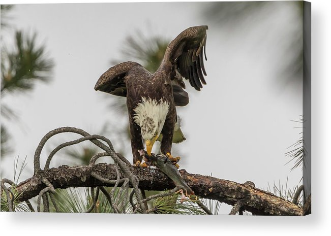 California Acrylic Print featuring the photograph Bald Eagle Eating Fish by Marc Crumpler