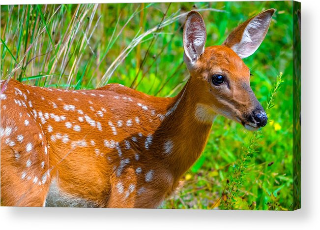 Acrylic Print featuring the photograph Fawn 4 by Brian Stevens
