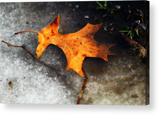 Leaf Acrylic Print featuring the photograph From Last Fall by Denise Irving