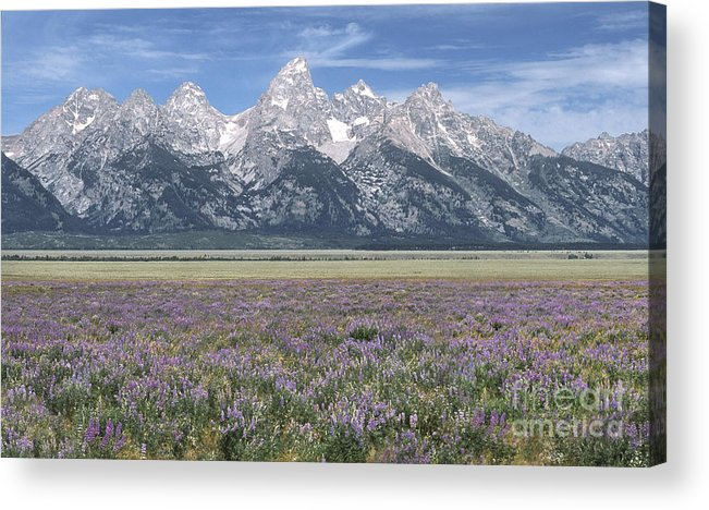 Grand Teton Acrylic Print featuring the photograph Lupine And Grand Tetons by Sandra Bronstein