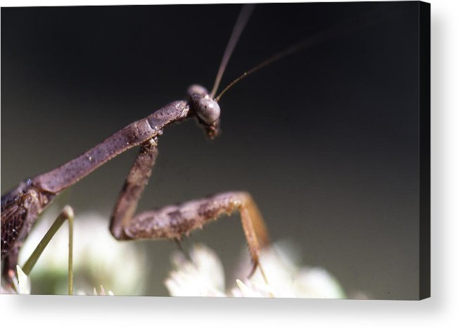 Acrylic Print featuring the photograph Mantis Pray by Curtis J Neeley Jr
