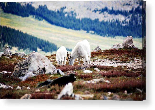 Animal Acrylic Print featuring the photograph Mountain Goats 2 by Marilyn Hunt